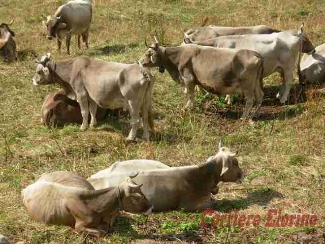 Affidato il servizio di sverminosi dei capi bovini