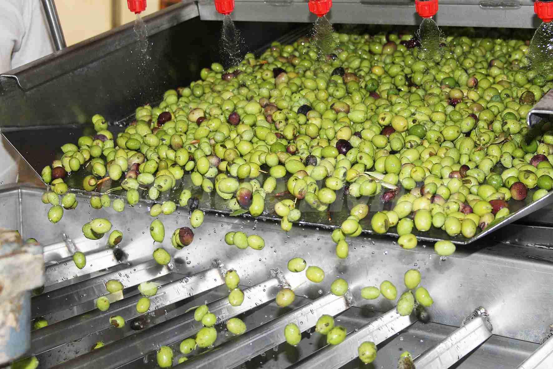 Oleificio Nobile: dall'1 settembre iniziata già la molitura delle olive