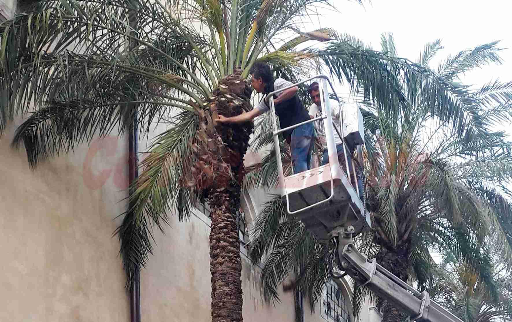 """""""Danneggiavano i vetri della Chiesa Madre"""", tagliate le palme di via Calafarina"""