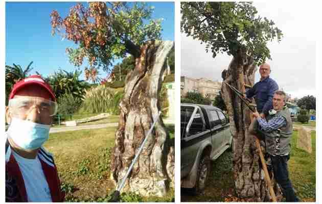 Volontari salvano dalla morte l'albero di carrubo centenario del Verde a Valle